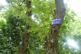cây gỗ sưa